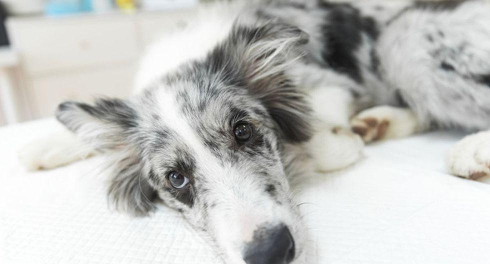 Algunos comportamientos de los perros pueden indicarnos que se encuentran mal de salud. (Foto: Pixabay)