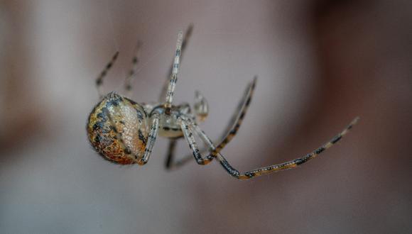 Cómo mantener a las arañas alejadas de nuestra casa: el truco definitivo. (Foto: Pexels)