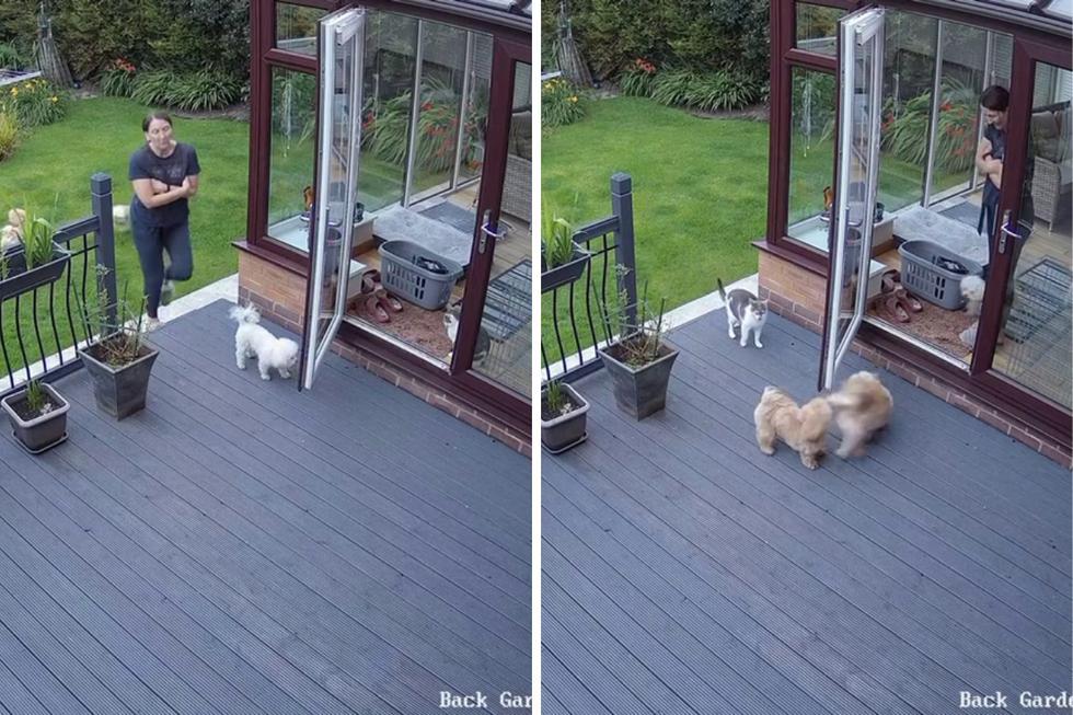 FOTO 1 DE 5   Un video viral muestra cómo un gato mete a la fuerza a la casa a unos perros traviesos.   Crédito: @katiedavies72 / TikTok. (Desliza a la izquierda para ver más fotos)