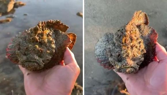 El pez piedra es uno de los más letales del planeta. (Foto: @jeffreycoleman02   TikTok)