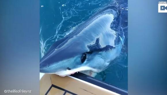 Los tiburones mako miden entre 3,5 y 4 metros, pesan de 400 a 750 kilogramos y están considerados como los tiburones más rápidos del océano. (Foto: Captura)