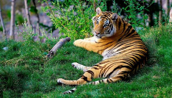 Se viralizó en YouTube el instante en que un tigre escapa de su jaula durante un show circense. (Foto: Referencial/Pixabay)