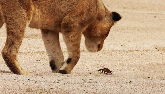 Cinco leones se enfrentan a un cangrejo en curioso video viral de YouTube (Foto: Latest Sightings)