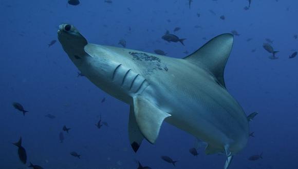 Los tiburones martillo pueden crecer hasta los 6 metros de largo. (Foto referencial - Pixabay)