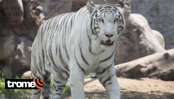 Tigresa 'Civa' fue elegida como la 'Reina de la primavera'