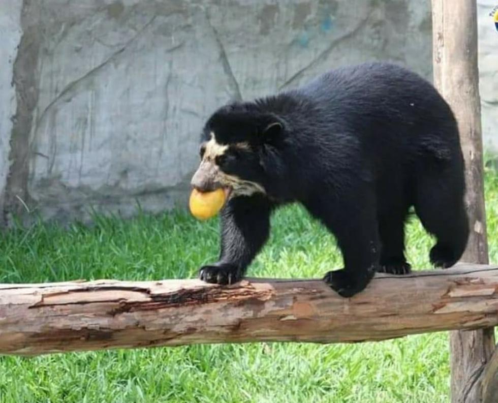 Se convoca concurso para elegir 'Ejemplar del Bicentenario', destacan: osos, nutrias, alpacas, entre otros