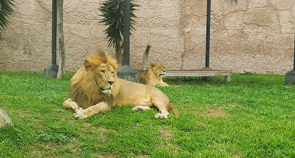 Parque de las Leyendas presentará este fin de semana al 'Rey León' y a su familia