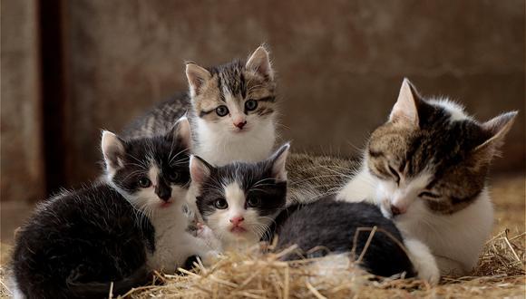 Los gatitos nacen ciegos y sordos pero con muy buen olfato. Foto: Pixabay.