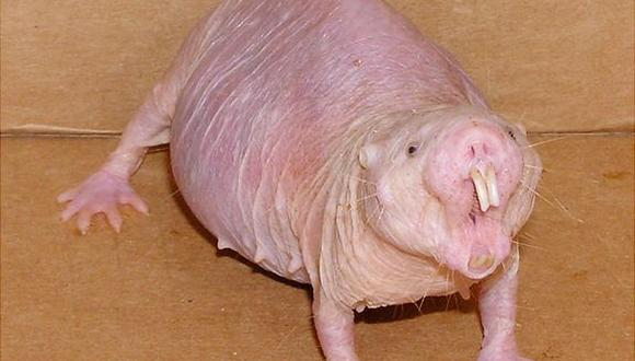 Esta rata carece de pelo y vive en el África. No siente ningún tipo de dolor.