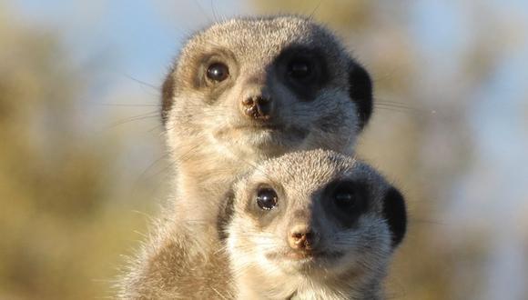 Las suricatas mostraron una reacción que a muchos usuarios en YouTube causó gracia. (Foto referencial - Pexels)