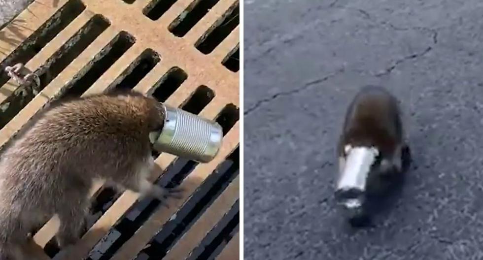Sacan de apuros a un mapache que tenía una lata atorada en la cabeza