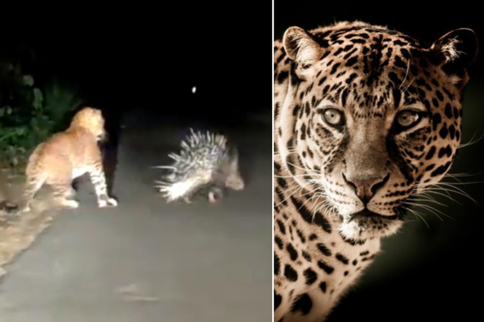 El leopardo creyó que el puercoespín no haría nada por defenderse. (Twitter: @rameshpandeyifs / Pixabay)