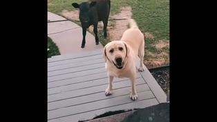 Viral: Tierno perrito regresa a su casa con una vaca y quiere que la dejen entrar