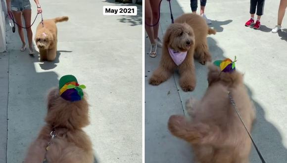 Los canes no tardaron en reconocerse. Ambos aparecen en el video jugando y saltando de una manera alegre. (Foto: @brodiethatdood | Instagram)