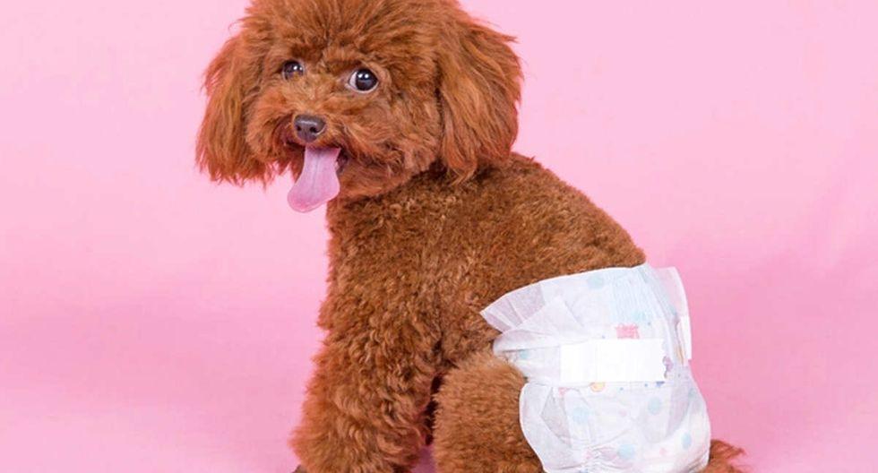 Mascotas: La menstruación en las perritas