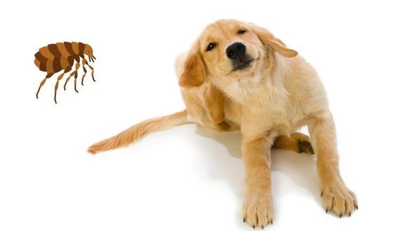 Aprende a cuidar a tu mascota de las pulgas.