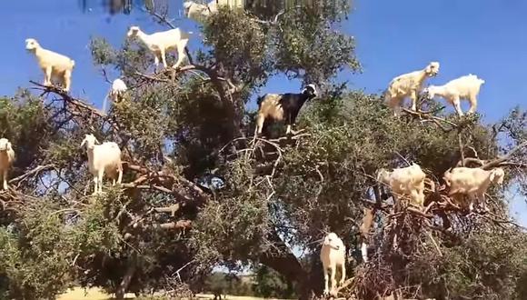 Mannequin Challenge de cabras. El video fue grabado en Marruecos. ¡Es muy gracioso!