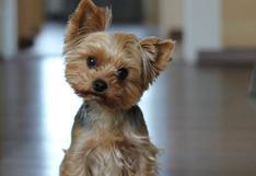 10 detalles que debes saber sobre los perros de raza pequeña [VIDEO]