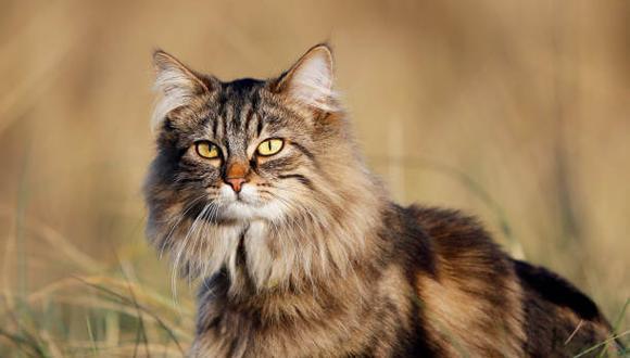 Gato de raza bosque de noruega: Curiosidades y orígenes de este felino
