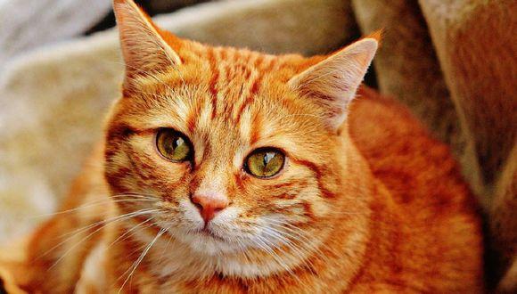 ¿Cuáles son las vacunas que necesitan los gatos y cada cuánto tiempo? (Foto: Pixabay)