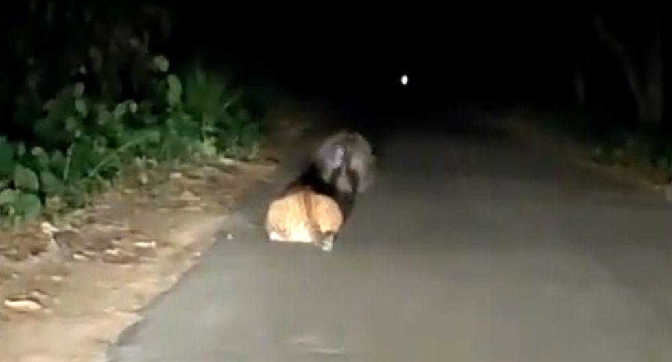 El felino esperó pacientemente a que el puercoespín pasara por su lado. (Twitter: @rameshpandeyifs)