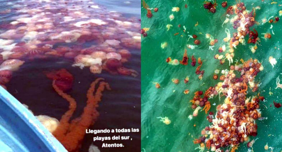Reportan miles de malaguas en playas del sur de Lima y Paracas | Fotos: Twitter | TROME