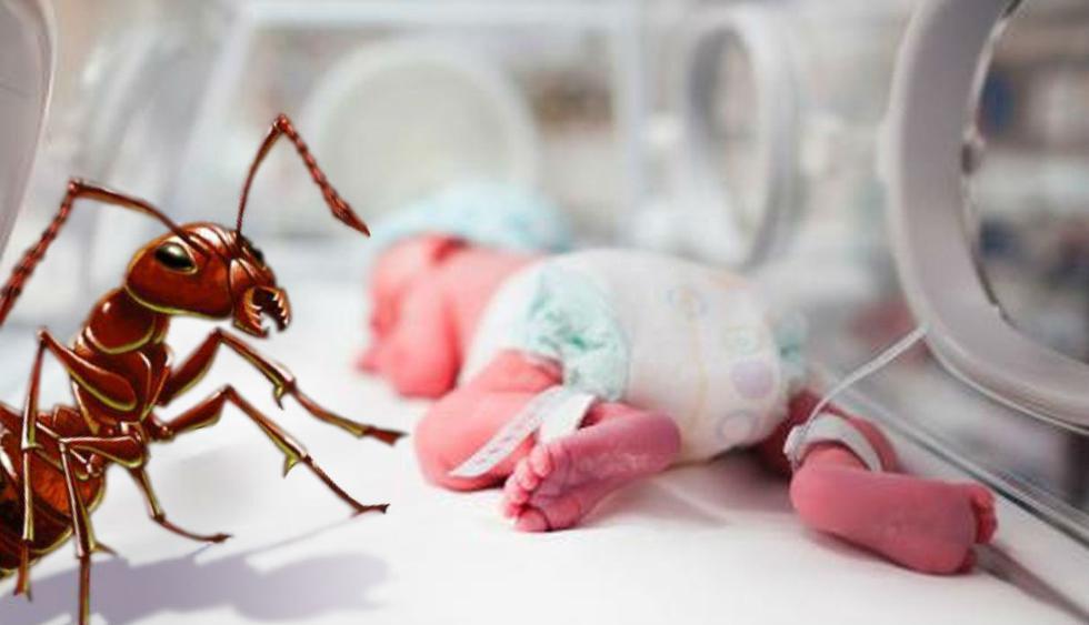 Hormigas dentro de incubadora de recién nacido generan indignación en las redes