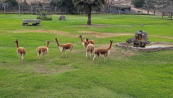 Vicuñas en hábitat acondicionado en el Parque de las Leyendas.