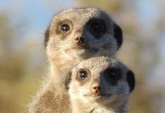 La insólita reacción de unas suricatas al ver a un gato por primera vez