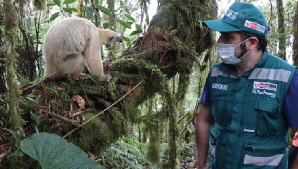 Cajamarca:  el oso hormiguero es un animal que se alimenta casi exclusivamente de hormigas y termitas. (Foto: Serfor)