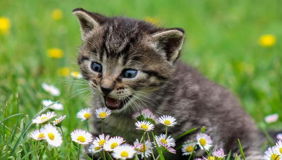 Entérate todos los cuidados que debes tener con un gato bebé. (Foto: Pixabay)