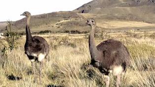 Ñandúes criados en cautiverio fueron liberados en Patagonia chilena