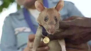Reino Unido: Una rata detectora de minas es premiada por su valor