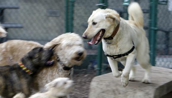 Las jaurías de perros callejeros son comunes en las ciudades de Rusia. Foto: Referencial/ Agencias