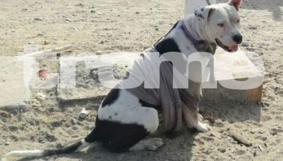 Feroz pitbull Hércules atacó a dos personas, porque dueños lo soltaron. (Fotos: Trome)