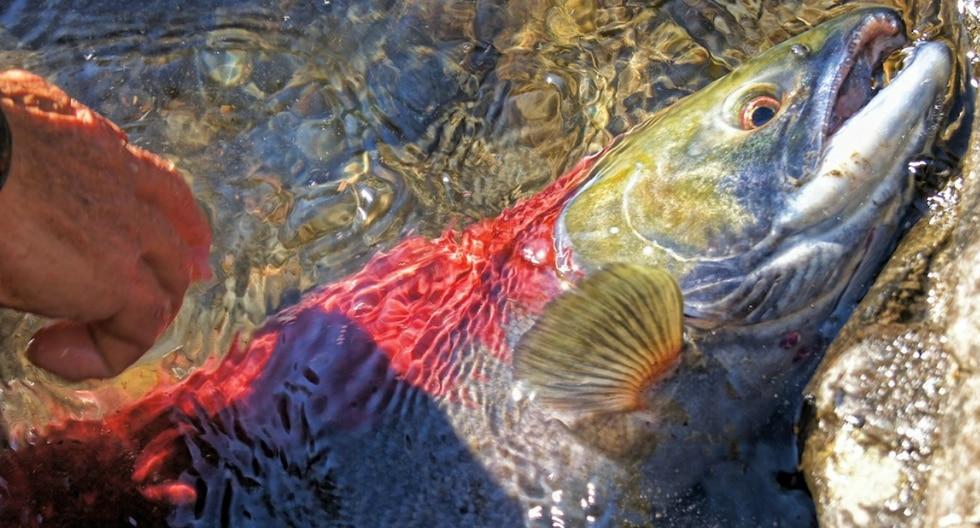 La travesía de unos salmones los llevó a cruzar una carretera inundada con el único objetivo de aparearse. (Foto: Pixabay/Referencial)
