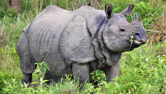 El recuento nacional de rinocerontes de un cuerno en peligro de extinción ha aumentado en más de 100 en los últimos seis años. (Foto: National Trust for Nature Conservation de Nepal)