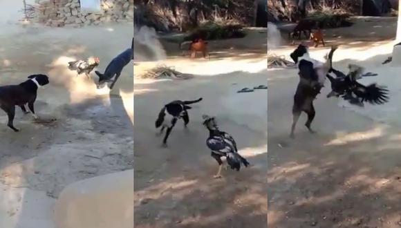 Un video viral muestra cómo un gallo se enfrentó solo a dos perros y logró ahuyentarlos. | Crédito: Zeenews