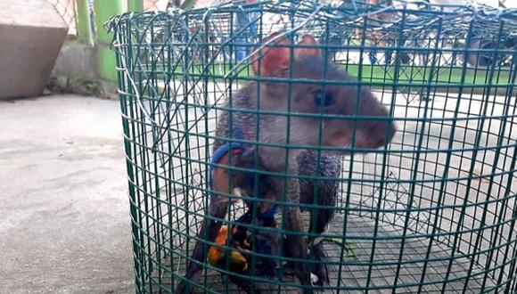 Loreto: incautan especies de fauna silvestre que permanecían en cautiverio y eran comercializadas (Foto: Ministerio Público)