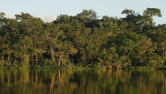 La Amazonía ecuatoriana alberga el codiciado árbol balsa. La fiebre por madera causó un comercio descontrolado con impactos sociales y ambientales (Foto: AFP)