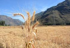INIA 400 K'anchareq: nuevo trigo con alta calidad genética de las regiones Cusco y Apurímac