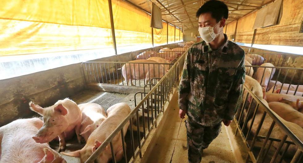 Imagen referencial. Un trabajador con una mascarilla revisa a los cerdos en un corral en Suining, provincia de Sichuan, China, el 21 de febrero de 2020. (EFE/EPA/ZHONG MIN).