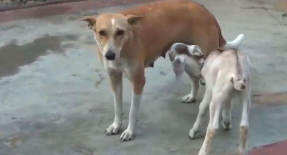 La perrita no muestra signos de incomodidad al alimentar a una pequeña cabra que se quedó huérfana. (YouTube: Vuzi)