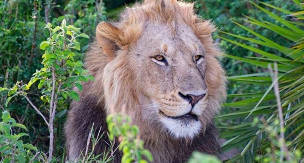 """La travesura del """"rey de la selva"""" quedó inmortalizada por el lente de un fotógrafo de la vida silvestre. (Foto: Gren Sowerby Photography-Yap Yap images en Facebook)"""