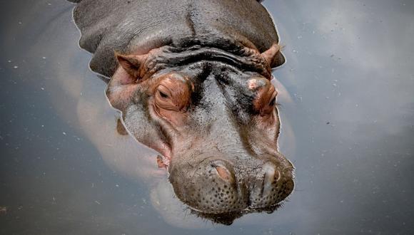 El hipopótamo ha entablado una excelente relación con el pato. Ello dejó sorprendidos a cientos de internautas. (Foto referencial - Pexels)
