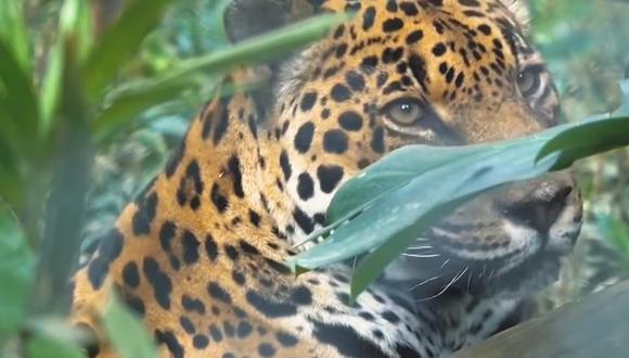 Perú alberga la segunda población más grande de jaguares en América del Sur (Foto: Minam)