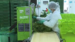 Colombia: autorizan uso industrial del cannabis y su exportación con fines medicinales