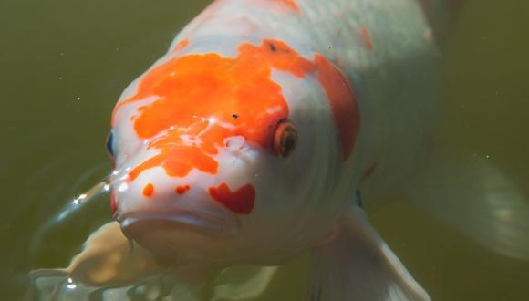 Existen cientos de grupos en las redes sociales dedicados a dar consejos sobre la crianza de peces koi. (Foto referencial - Pexels)